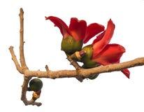 Una rama del árbol de ceiba floreciente del Bombax o de la flor roja del algodón de seda Foto de archivo libre de regalías