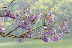 Una rama del ?rbol grande y llenada de Violet Flowers foto de archivo libre de regalías