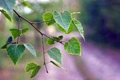 Una rama fina de los árboles de abedul con pequeño verde se va en la calle Foto de archivo