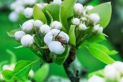Una rama floreciente Imagen de archivo