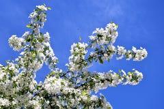 Una rama floreciente del manzano contra el cielo azul Imagen de archivo
