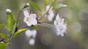 Una rama floreciente del manzano en primavera con el viento ligero Manzana floreciente con las flores blancas hermosas almacen de video