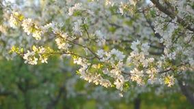 Una rama floreciente del manzano en primavera con el viento ligero Manzana floreciente con las flores blancas hermosas Rama de almacen de metraje de vídeo
