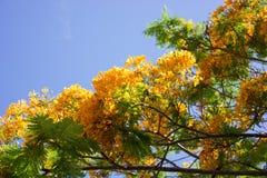 Una rama floreciente del regia amarillo del Delonix Foto de archivo libre de regalías