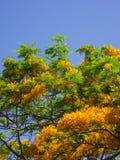 Una rama floreciente del regia amarillo del Delonix Fotos de archivo libres de regalías