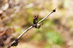 Una rama joven de un árbol de serbal con verde joven fresco deja la floración con la llegada de la primavera Fotografía de archivo