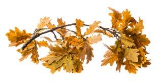 Una rama otoñal del roble foto de archivo libre de regalías