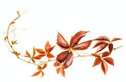 Una rama otoñal roja Fotos de archivo