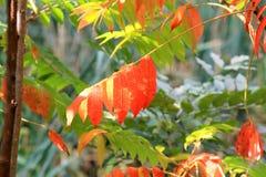 Una rama pintoresca con las hojas de otoño rojas Fotografía de archivo