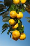 Una ramificación con las mandarinas en un árbol Imágenes de archivo libres de regalías
