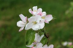 Una ramificación de un Apple-árbol con las flores en primer de la primavera foto de archivo