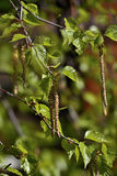 Rama de un árbol de abedul en la primavera. Imagenes de archivo