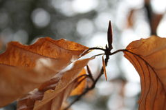 Una ramita del árbol de haya Fotos de archivo libres de regalías