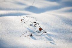Una ramita del abedul en la nieve Fotografía de archivo libre de regalías