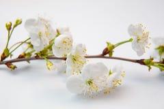 Una ramita floreciente de la cereza imágenes de archivo libres de regalías