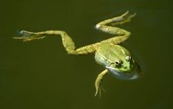 Una rana Immagini Stock