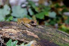 Una rana arbórea en un registro fotografía de archivo