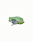 Una rana arbórea gris aislada en blanco Imagen de archivo libre de regalías