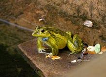 Una rana che si siede fuori nella pioggia fotografia stock