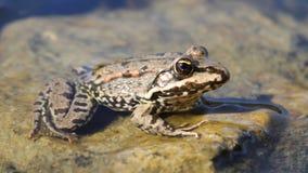 Una rana che si siede su una pietra Fotografie Stock