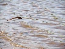Una rana como pescados salta de debajo el agua imagenes de archivo