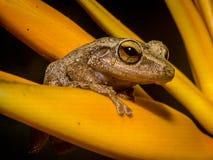 Una rana del coqui en Puerto Rico imagen de archivo