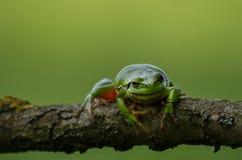 Una rana di albero europea su un ramo che guarda verso la lente fotografie stock