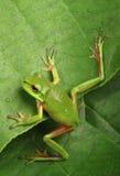 Rana verde che scala una foglia Immagine Stock