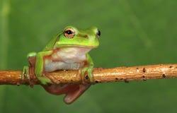 Rana di albero verde sulla vite Fotografia Stock Libera da Diritti