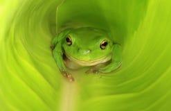 Rana verde in nuova foglia verde Fotografia Stock