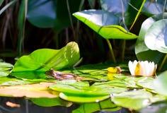 Una rana e un giglio fotografia stock