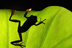 Una rana en una hoja Foto de archivo