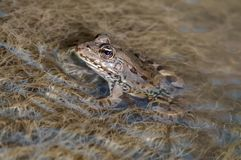 Una rana grande en agua en un río fotografía de archivo