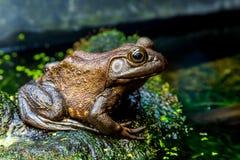 Una rana mugidora americana del viejo adulto en las algas cubrió la superficie en una charca Foto de archivo libre de regalías