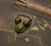 Una rana mugidora en una charca Fotos de archivo