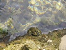 Una rana nell'acqua immagine stock