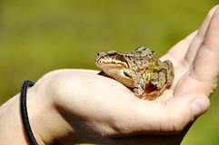Una rana nella mano Fotografia Stock