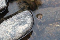Una rana oculta detrás de una roca Imagenes de archivo