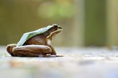 Una rana olorosa de Largre Foto de archivo
