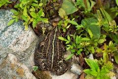 Una rana que sigue otra rana en la hierba imagen de archivo