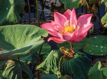 Una rana rayada verde-amarilla espera pacientemente la comida deliciosa debajo de la flor del lirio de agua en la charca fotos de archivo libres de regalías
