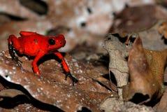 Una rana roja de la flecha del veneno en una hoja Fotos de archivo