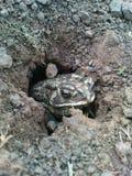 Una rana salió del agujero Foto de archivo libre de regalías