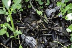 Una rana a terra in una foresta fotografia stock