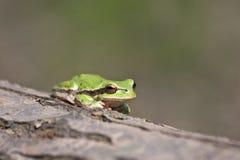 Una rana verde Fotos de archivo