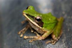 Una rana verde Imágenes de archivo libres de regalías