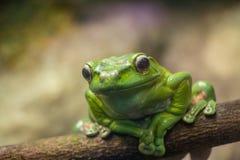 Una rana verde en un primer de la rama Imagenes de archivo
