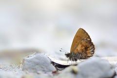 Una rantaizana butterfly in water Royalty Free Stock Photography