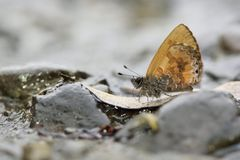 Una rantaizana butterfly in water Royalty Free Stock Images