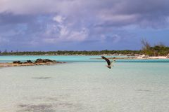 Una rapace, Long Island, Bahamas immagine stock libera da diritti